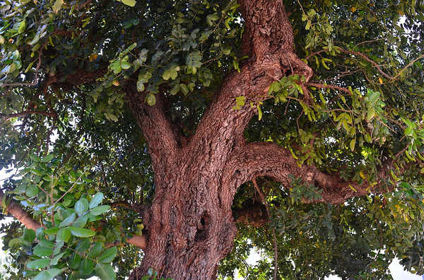 Masseria del Crocifisso:  another view of the carob tree