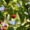 DAY 6:  Aria Fina:  ripe cherries
