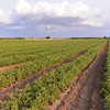 Le Querce di Mamre Agriturismo:  lots of tomatoes