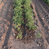 Le Querce di Mamre Agriturismo:  tomato plants showing drip tubing termination