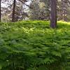 Calabria, Sila National Park, Lago Arvo north shore:  fern forrest floor
