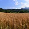 Calabria, La Rosa Nel Bicchiere Agriturismo, outside of Soveria Mannelli:  wheat field