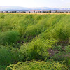 Le Querce di Mamre Agriturismo: asparagus field