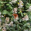 Calabria, Sila National Park, Lago Arvo north shore:  moth and flowers
