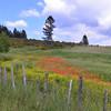 Calabria, Sila National Park, Lago Arvo north shore:  wildflowers