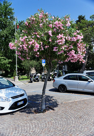 Sirmione; oleander grown as a tree, off for a day trip to the very upscale peninsula