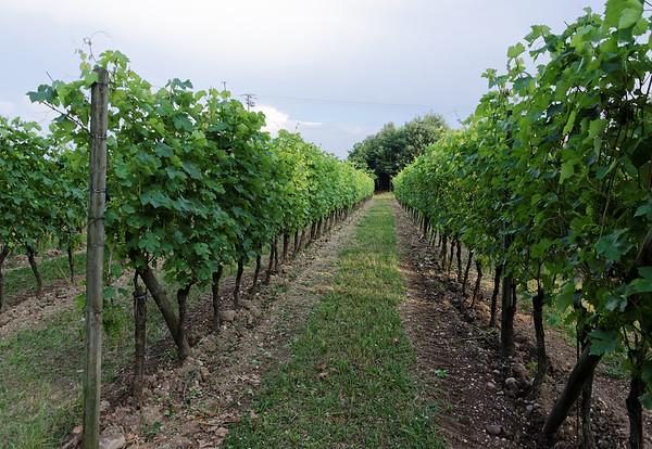 Borgo San Donino; grapevines