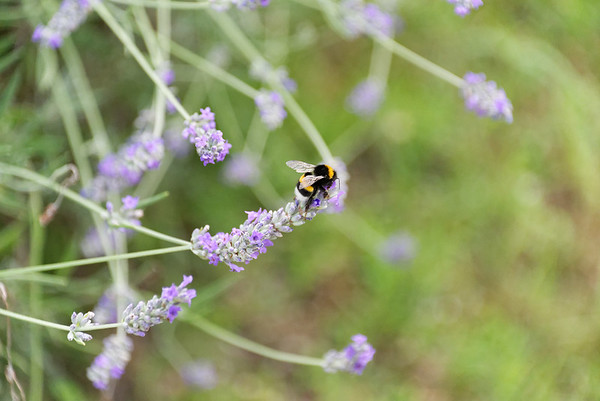 DAY 6: off to see balsamic vinegar made, bee on lavender at the agriturismo