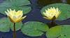 Valeggio, Parco Sigurta Giardino; lilies