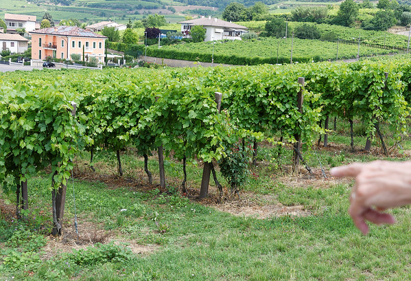 Soave; vines with the famous grapes of the area
