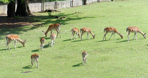 Valeggio, Parco Sigurta Giardino; deer