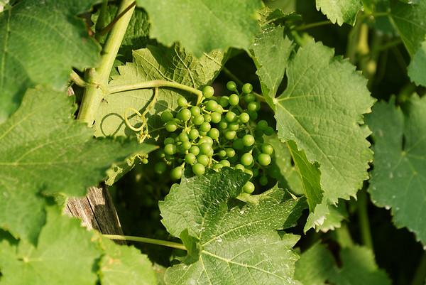 Borgo San Donino; grapes, headed to dinner