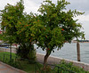 Venice; Murano Island pomogranete tree