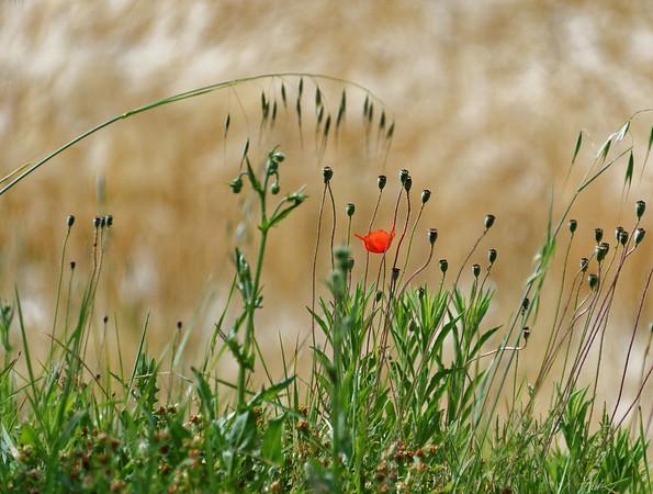 Mondo Antico, Gaminara walk, poppy with wheat field in background