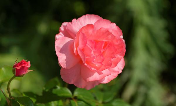 Mondo Antico, Gaminara walk, rose at Mondo Antico