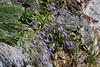 Small blue bells along the road from La Sognata