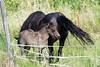 Mondo Antico, Gaminara walk, young horse and mare