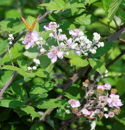 Mondo Antico, Gaminara walk, wild roses, butterflies and bees