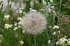 Mondo Antico walk, dandelion-like seed dispersal system