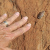 Tiny frog Suzanne discovered along Llewellyn Gulch.
