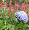 salvia and hydrangea,  Southwest Harbor, ME