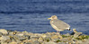 gull, drive around Mount Desert Island, ME