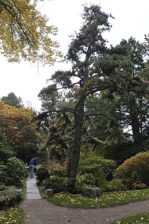 Pitch Pine (Pinus rigida), Asticou Azalea Garden, Northeast Harbor, ME