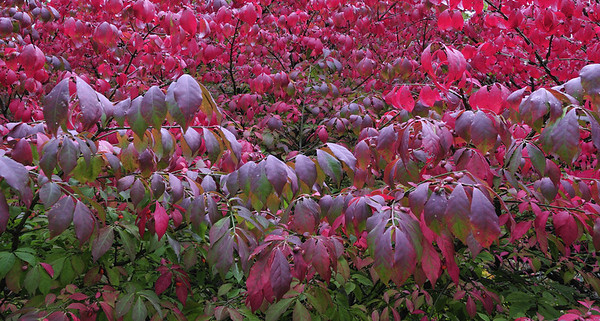 Compact Euonymus (Euonymus alatus), Asticou Azalea Garden, Northeast Harbor, ME