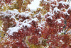 snow falling on maples, Bethel, ME