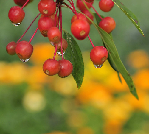raindrops on berries, Southwest Harbor, ME