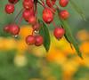 raindrops on berries, Southwest Harbor, ME