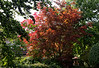 Niagara-on-the-Lake Ontario, Japanese maple