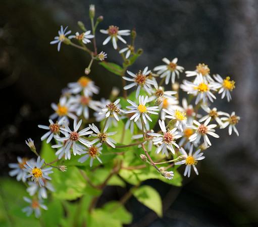 Killbear Park, small daisies