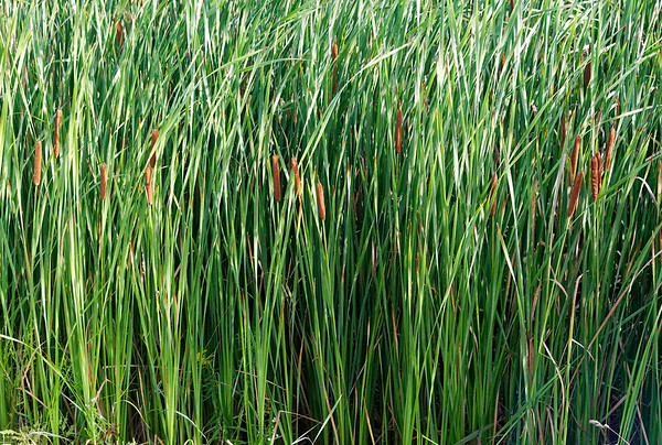 Parry Sound, on the road to Killbear Park, cattails