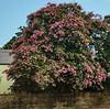 Natchez - magnificent tree in bloom