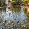 Ducks in Viveros park pond of Valencia