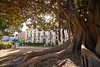 Valencia Glorieta park big ficus tree Spain