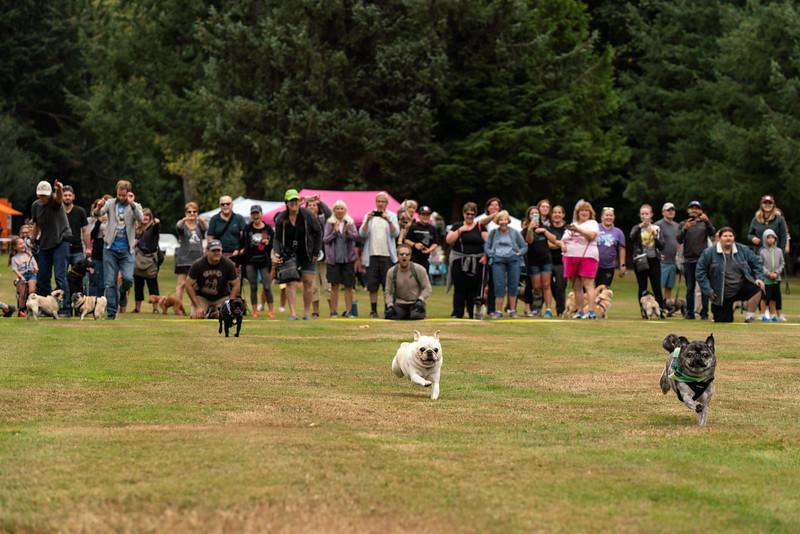 Pug races-KDS03305