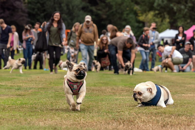crop Pug races-KDS03256