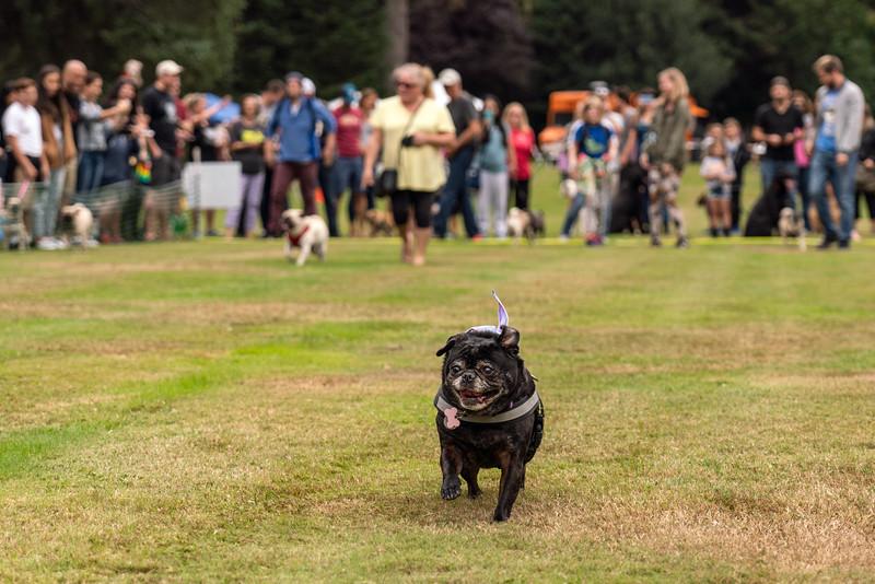 Pug races-KDS03319