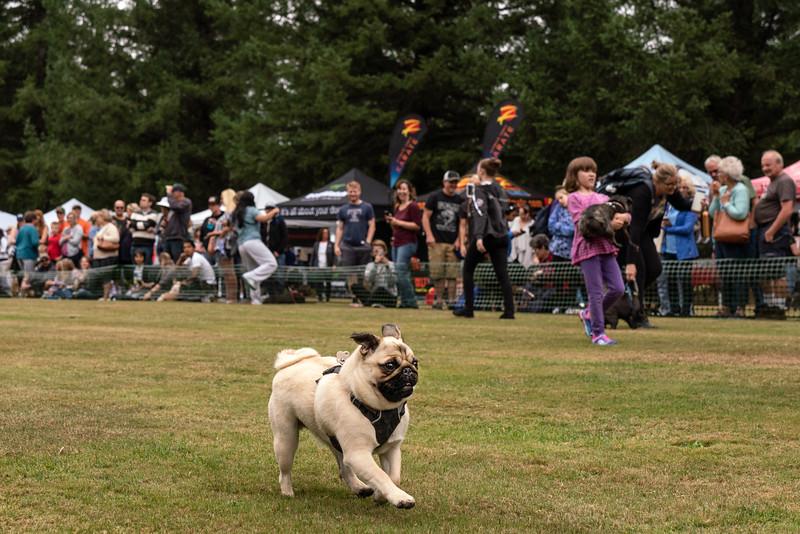 Pug races-KDS03291