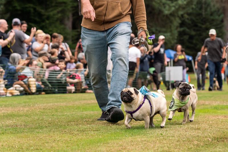 Pug races-KDS03269