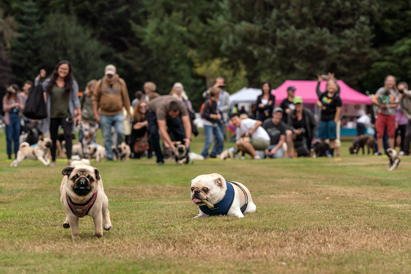 crop Pug races-KDS03258