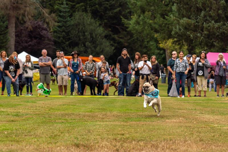 Pug races-KDS03368