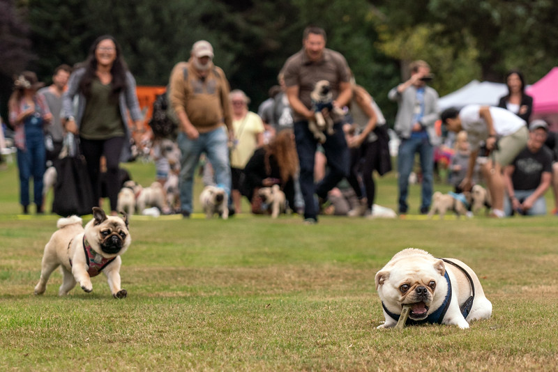 crop Pug races-KDS03254