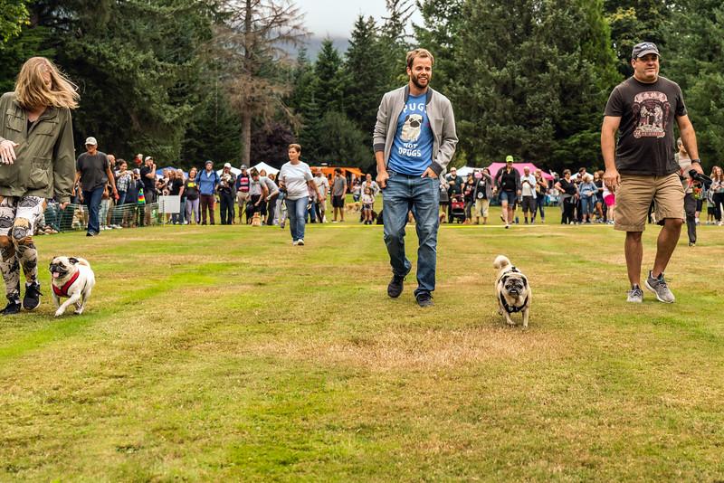 Pug races-KDS03324