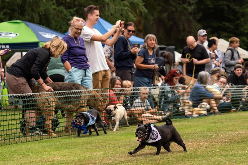 Pug races-KDS03321