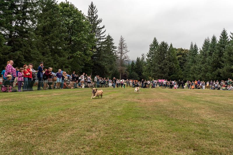 Pug races-KDS03380