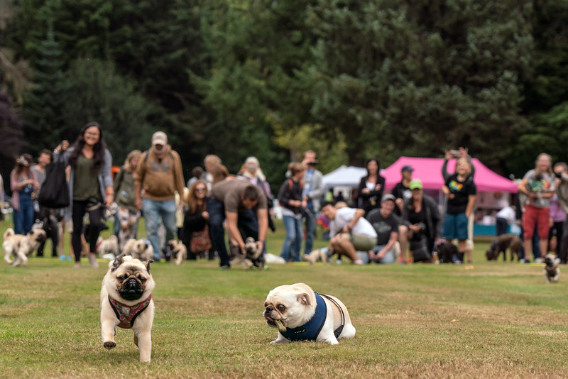 crop Pug races-KDS03257