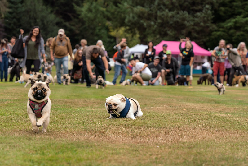 crop Pug races-KDS03259